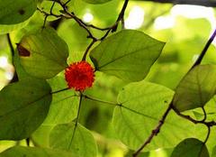 构树的鉴别与应用以及食用构树注意事项