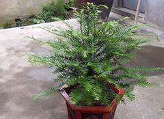 养殖红豆杉盆景 为家居添一分生机