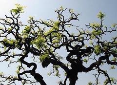 龙爪槐:夏日天然的阴凉之地