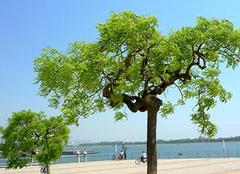 龙爪槐:生命力顽强的变型落叶乔木