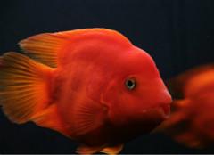关于血鹦鹉鱼饲养的那些事儿
