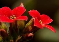 长寿花有毒吗?家居养殖最适宜的花卉