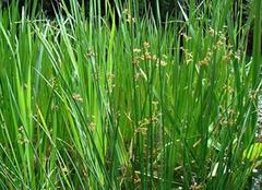 金鱼藻:人工养殖鱼缸造景的点睛之笔