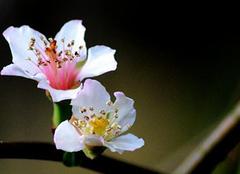 山楂花只是花美吗?原来药用价值这么大!
