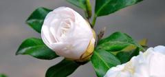 集美貌与价值于一身的白茶花