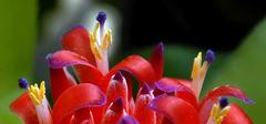 花叶俱美的水塔花养殖方法有讲究