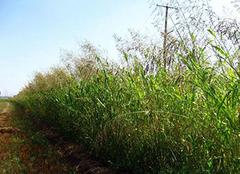 苏丹草:自然馈赠牛羊的最佳奖赏