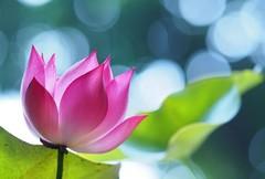 莲花的象征意义 你真的能一一道来吗?