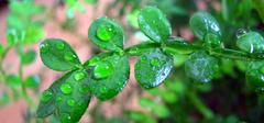 清香木为什么老掉叶?清香木养殖方法介绍