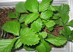 精心挑选绿色植物 最大限度达到驱蚊之效