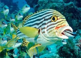 清洁工鱼的饲养看这里