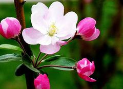海棠花的种类繁多 品种皆千娇百媚