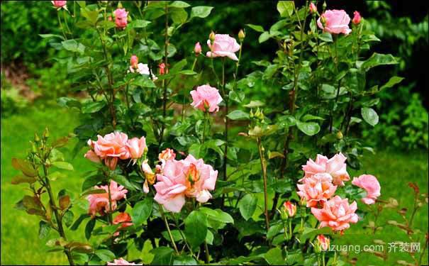整株染虫,并导致病害,因此对介壳虫的防治是家养玫瑰