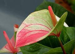 家居养殖红掌 叶子发黄要重视