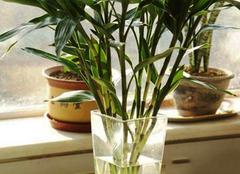 水养富贵竹怎么养 水养富贵竹叶子发黄怎么办