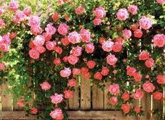 盆栽玫瑰花怎么养 盆栽玫瑰花的种植方法