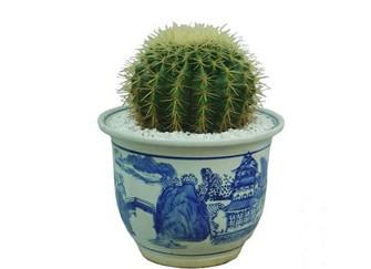 家居好植物   金琥的养殖方法和注意事项
