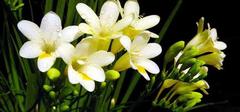 清新素雅香雪兰:点缀家居的理想盆花