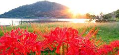 曼莎珠华:来自冥界的苦难之花