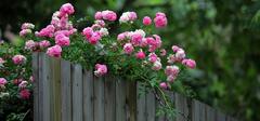 蔷薇花语美而丰富 食用方法亦是多样