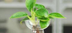 水培花卉玻璃瓶养殖方法及益处大盘点