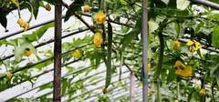 丝瓜的药用价值有哪些?丝瓜的用法用量介绍