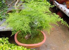 文竹的养殖方法介绍,文竹养护注意事项