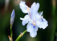 各国鸢尾花意义和不同颜色的花语