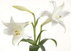 孕期养花禁忌 孕妇不能养哪些花