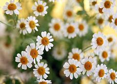 雏菊种殖方法有技巧,雏菊种植注意事项要当心