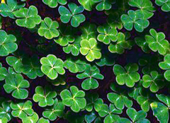 """""""幸运草""""四叶草的花语及其鲜为人知的含义"""