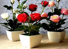 盆栽月季花扦插方法 盆栽月季施肥注意事项