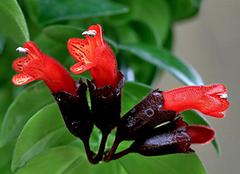 口红花的栽培技术 口红花功效与作用