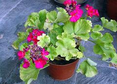 天竺葵的养殖方法及其花语大揭秘