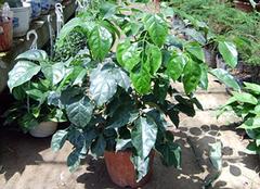 龙须兰的养殖方法介绍,龙须兰的作用揭秘