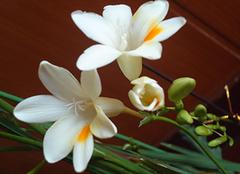 米兰花的养殖注意事项 米兰花图片欣赏