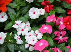 详细的长春花养殖方法 长春花图片欣赏