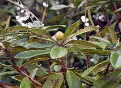 野生山茶花的养殖方法,野生山茶花功效揭秘