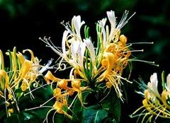金银花的作用与禁忌 金银花图片观赏