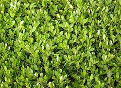稀有植物小叶黄杨盆景的制作与养护方法揭秘