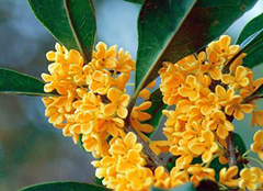 传统十大名花之一金桂花树品种有哪些?