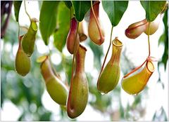 猪笼草养殖方法介绍,猪笼草养殖的注意事项
