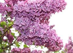 丁香花的养殖方法 丁香花的功效与作用