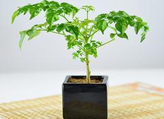 幸福树怎么养?幸福树功效与作用