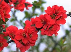 海棠花怎么养?海棠花对家居环境的作用
