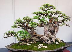 榕树盆景怎么养 榕树盆景养殖注意事项