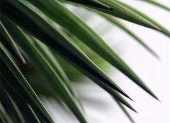 铁树叶食用方法 铁树叶的功效与作用介绍