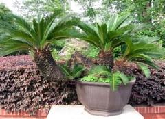 铁树叶药用价值 铁树叶的功效与作用