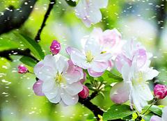 西府海棠图片及其价值鉴赏