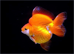 元宝鱼的养殖方法详细说明